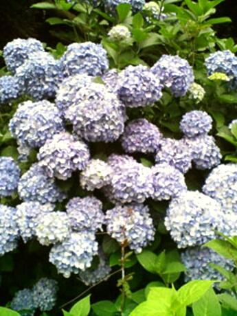 飛鳥山公園の紫あじさい