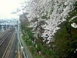 飛鳥山の桜と線路