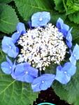 飛鳥山公園の青い紫陽花